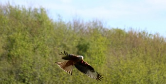 Red Kite, Argaty Falconry.